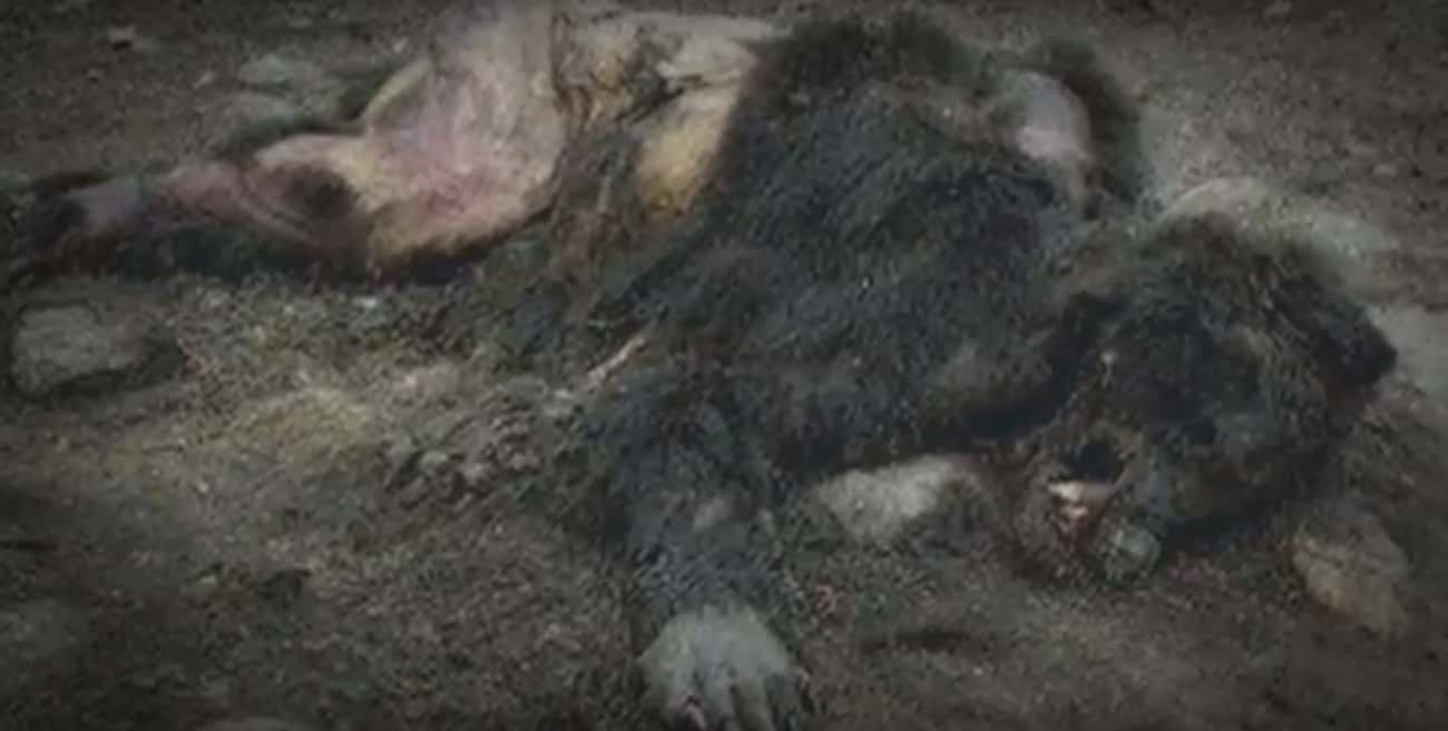 Yet Another Dead Werewolf Foun is listed (or ranked) 4 on the list Photos And Videos Some Claim Contain Werewolves