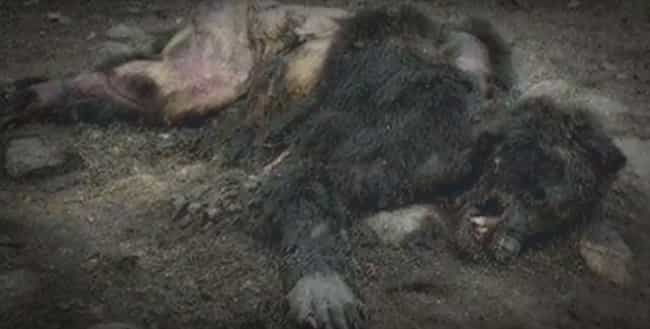 Yet Another Dead Werewolf Foun... is listed (or ranked) 4 on the list These Photos And Videos Just Might Prove The Existence Of Werewolves
