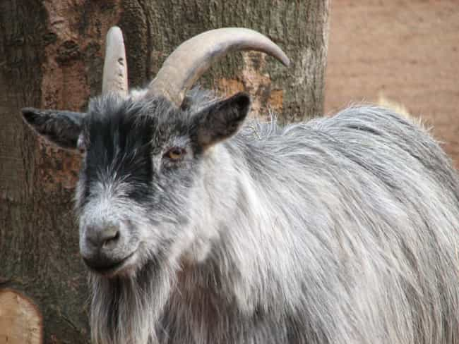 Nigerian Police Accused A Goat... is listed (or ranked) 4 on the list Strange Tales Of Animals That Have Been Arrested