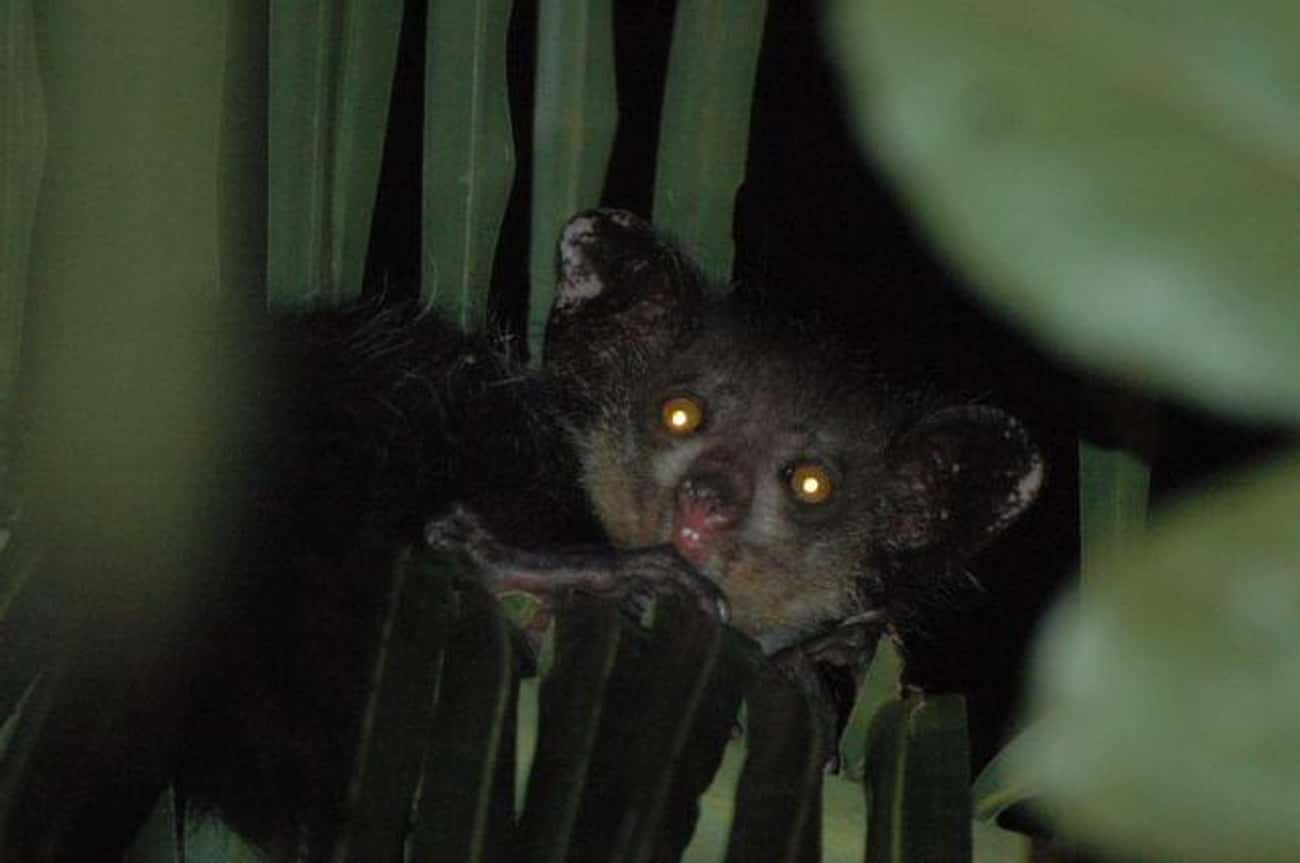 Aye-Ayes Are Loners That Only  is listed (or ranked) 3 on the list 11 Facts Most People Don't Know About Aye-Ayes, The Creepiest Of All Primates