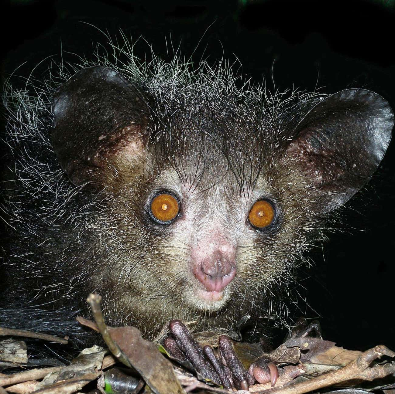 Natives View Them As An Omen O is listed (or ranked) 1 on the list 11 Facts Most People Don't Know About Aye-Ayes, The Creepiest Of All Primates
