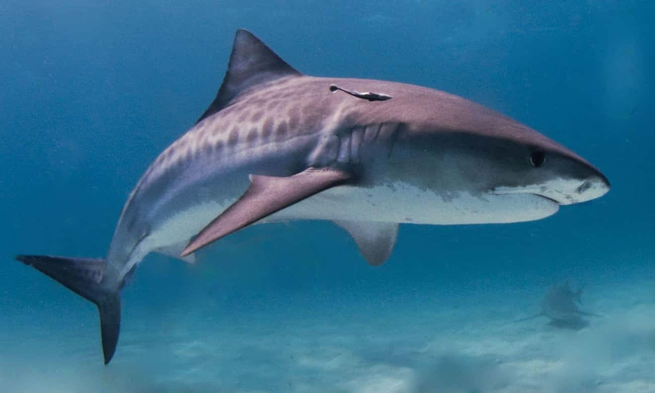 A Tiger Shark Had A Whole Suit is listed (or ranked) 3 on the list 12 Of The Most Bizarre Things Humans Have Ever Found Inside Animal Stomachs