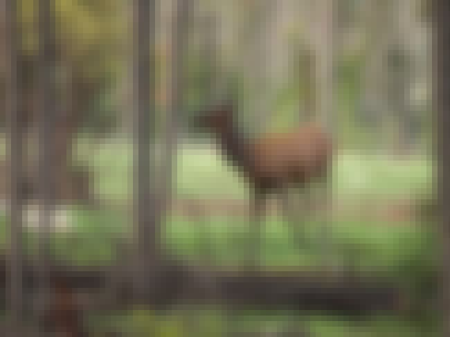 This Behavior Might Really Hel... is listed (or ranked) 3 on the list Badass Lady Elk Are Outsmarting Hunters Because The Future Is Female