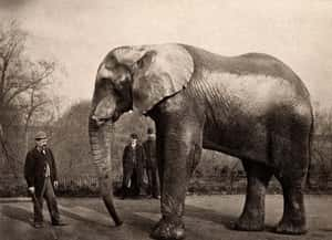 He Marched 21 Elephants And 17... is listed (or ranked) 2 on the list 14 Incredible Facts About American Showman P.T. Barnum