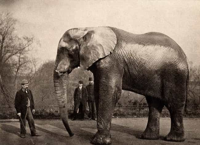 He Marched 21 Elephants ... is listed (or ranked) 2 on the list 14 Incredible Facts About American Showman P.T. Barnum