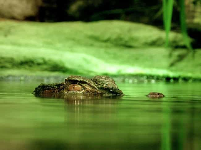 Not Only Do Alligators W... is listed (or ranked) 4 on the list The Most Messed Up Things Alligators Do When They're Killing You (Or Other Living Things)