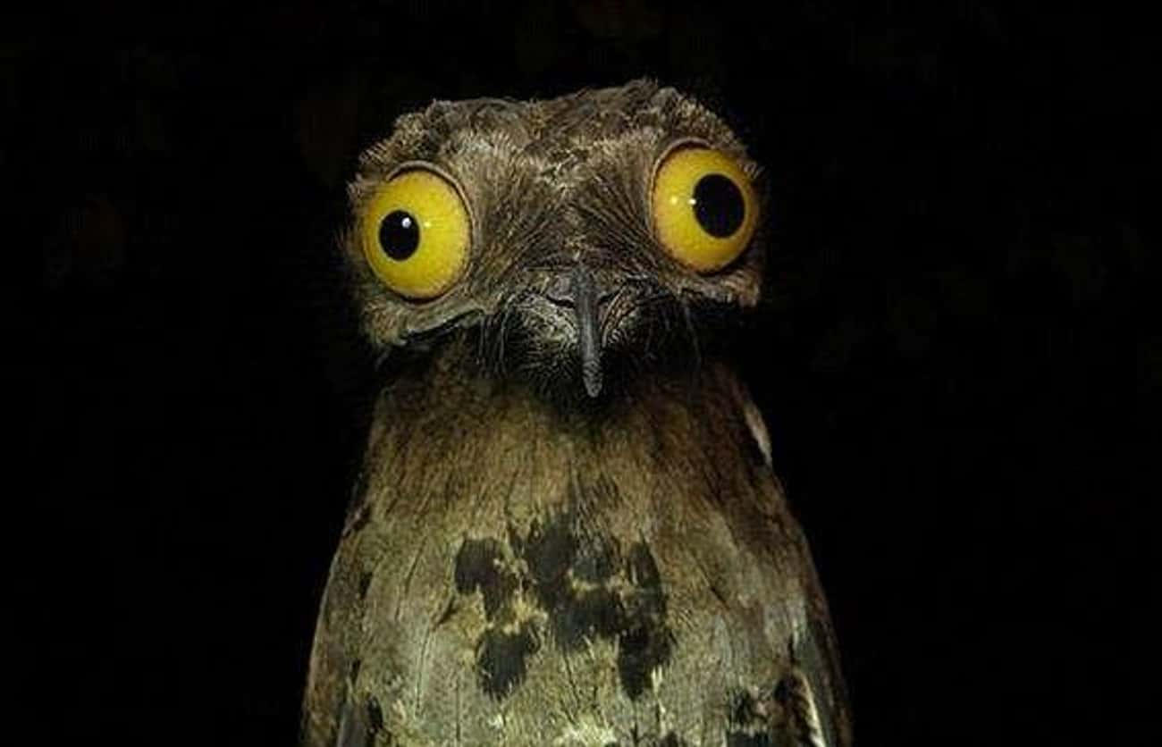 "Potoo Birds Are The Subject Of is listed (or ranked) 1 on the list 10 Facts Most Don't Know About The Great Potoo, ""The Cartoon Bird"""