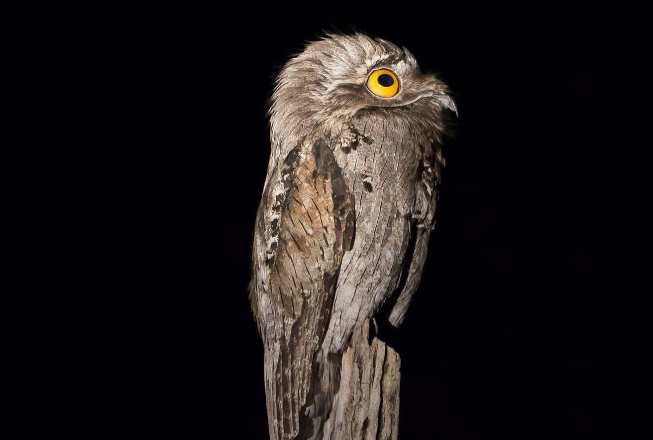 "Potoos Mostly Eat Bugs, But So is listed (or ranked) 4 on the list 10 Facts Most Don't Know About The Great Potoo, ""The Cartoon Bird"""