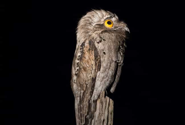 10 Facts Most Don't Know About The Great Potoo,