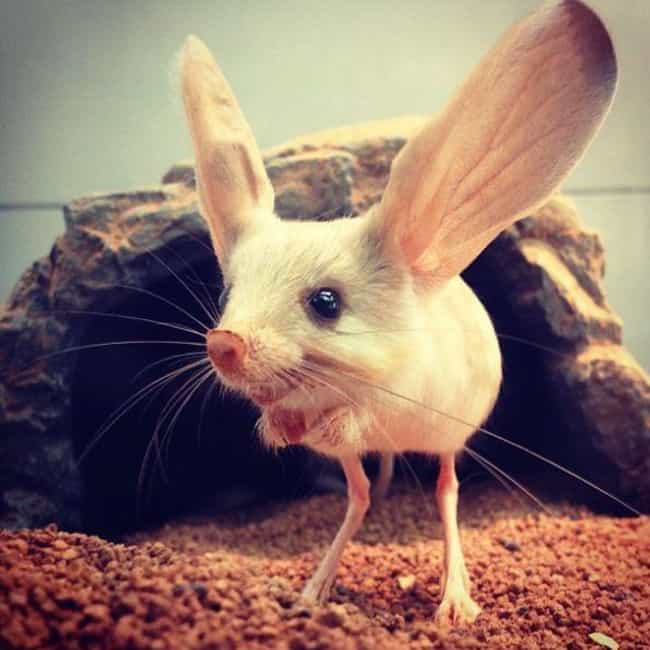 Giant Ears Keep The Long-Eared... is listed (or ranked) 3 on the list Meet The Long-Eared Jerboa―Part Rabbit, Part Mouse, Part Kangaroo And 100% Majestic