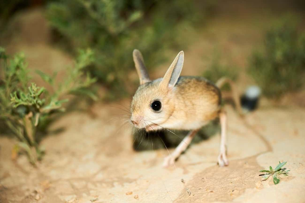 Jerboas Can Jump Up To 9.8 Fee is listed (or ranked) 1 on the list Meet The Long-Eared Jerboa―Part Rabbit, Part Mouse, Part Kangaroo And 100% Majestic