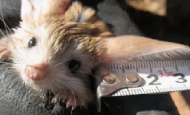 9 ridiculously cute facts about the long eared jerboa