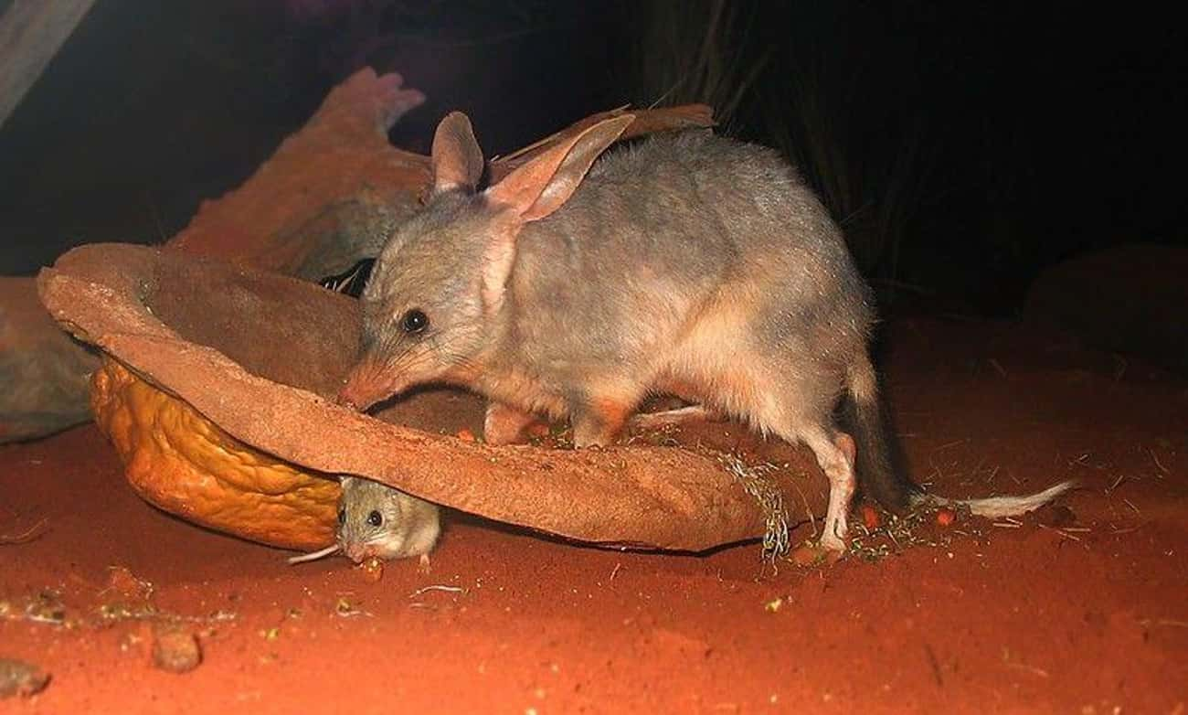 They Really Need Eyeglasses is listed (or ranked) 4 on the list Meet The Bilby―Officially The Cutest Animal You've Probably Never Heard Of