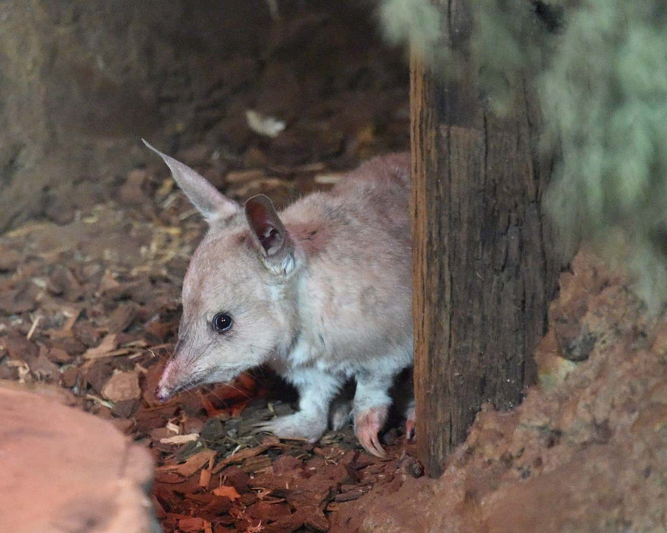 Bilbies Don't Need To Drin is listed (or ranked) 3 on the list Meet The Bilby―Officially The Cutest Animal You've Probably Never Heard Of