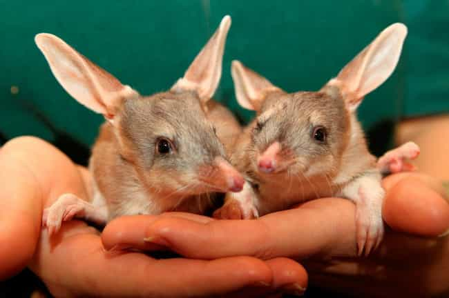Bilbies Don't Need To Dr... is listed (or ranked) 3 on the list Meet The Bilby―Officially The Cutest Animal You've Probably Never Heard Of