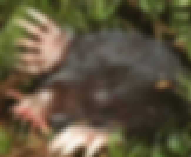 Their Tentacles Act As Eyes is listed (or ranked) 4 on the list Facts About The Star-Nosed Mole