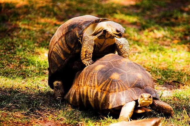 Turtle Penis is listed (or ranked) 2 on the list 12 Things You Should Never Google: Nature Edition
