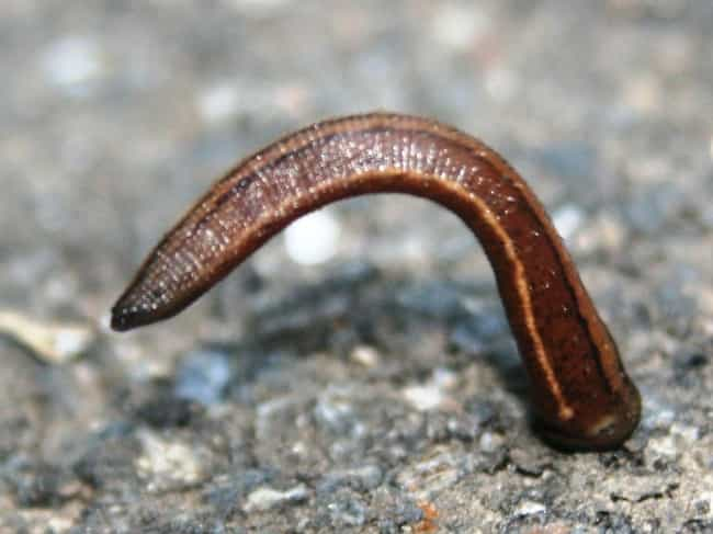 All Leeches Are Hermaphr... is listed (or ranked) 1 on the list 12 Bizarre Facts Most People Don't Know About Bloodsucking Leeches