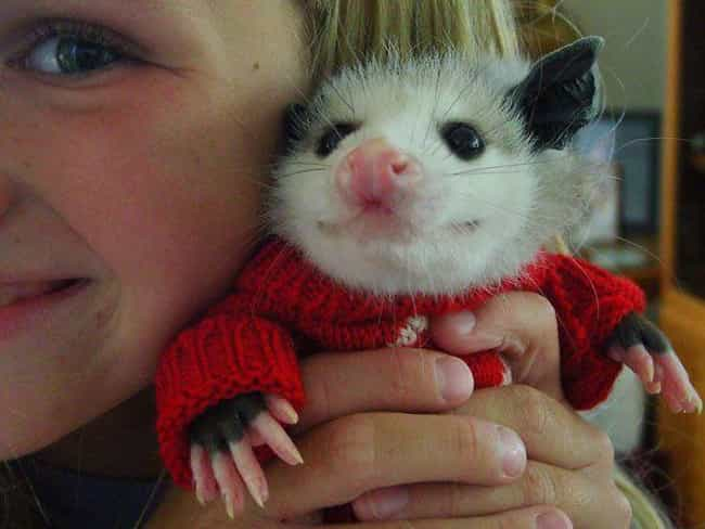 This Guy's Christmas Swe... is listed (or ranked) 1 on the list 24 Times Opossums Nailed The Art Of Being Adorable