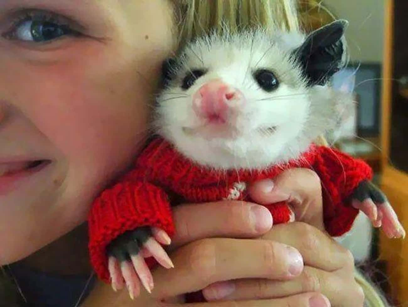 Look At This Guy's Little Swea is listed (or ranked) 1 on the list 18 Times Opossums Nailed The Art Of Being Adorable