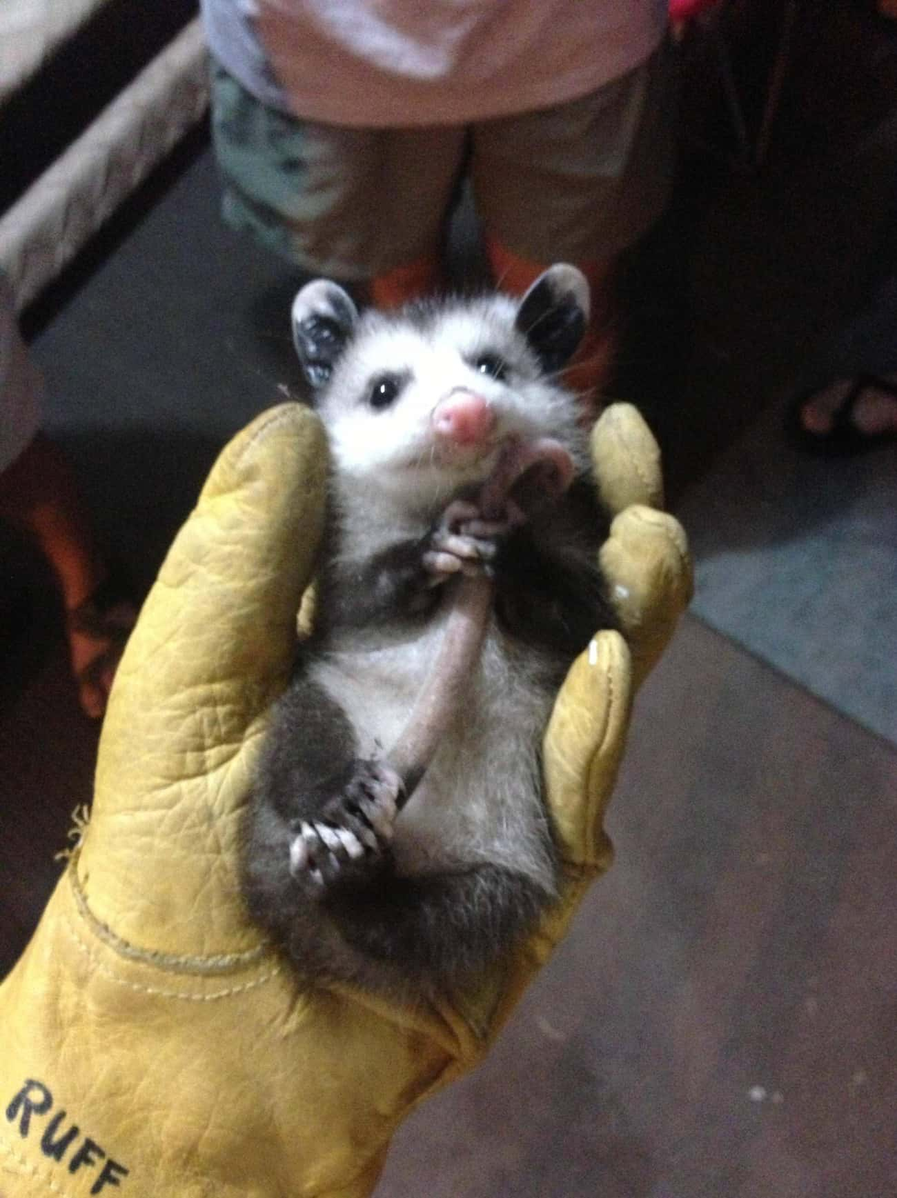 Calm, Collected, And Refreshin is listed (or ranked) 4 on the list 18 Times Opossums Nailed The Art Of Being Adorable
