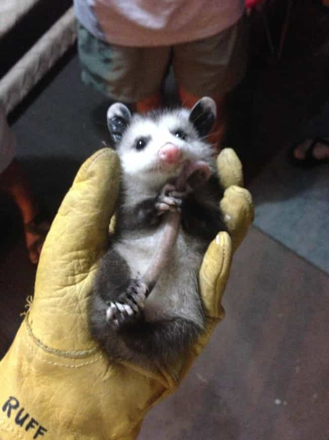 Calm, Collected, And Ref... is listed (or ranked) 4 on the list 24 Times Opossums Nailed The Art Of Being Adorable