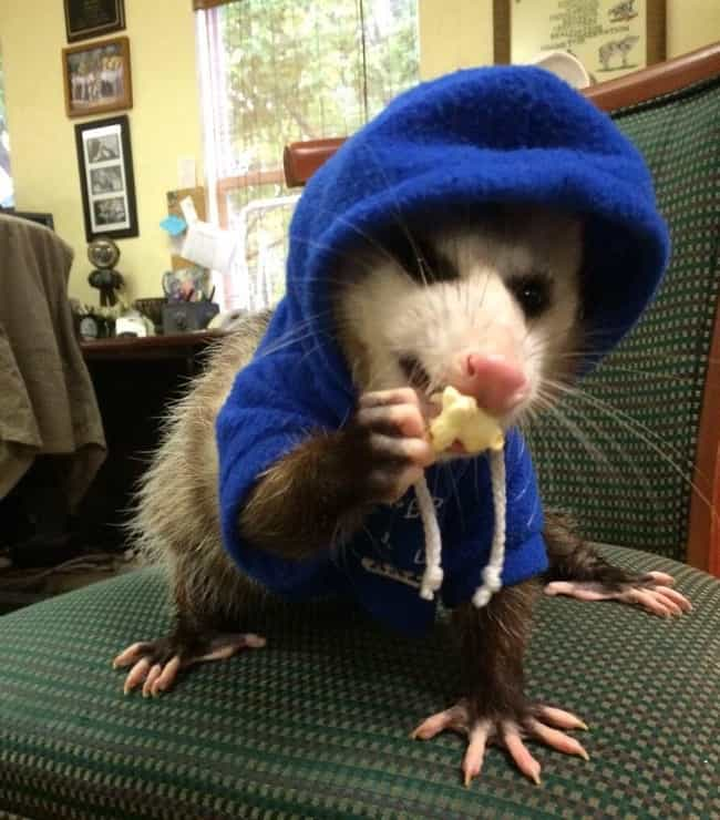 Petunia The Possum Gets ... is listed (or ranked) 2 on the list 24 Times Opossums Nailed The Art Of Being Adorable