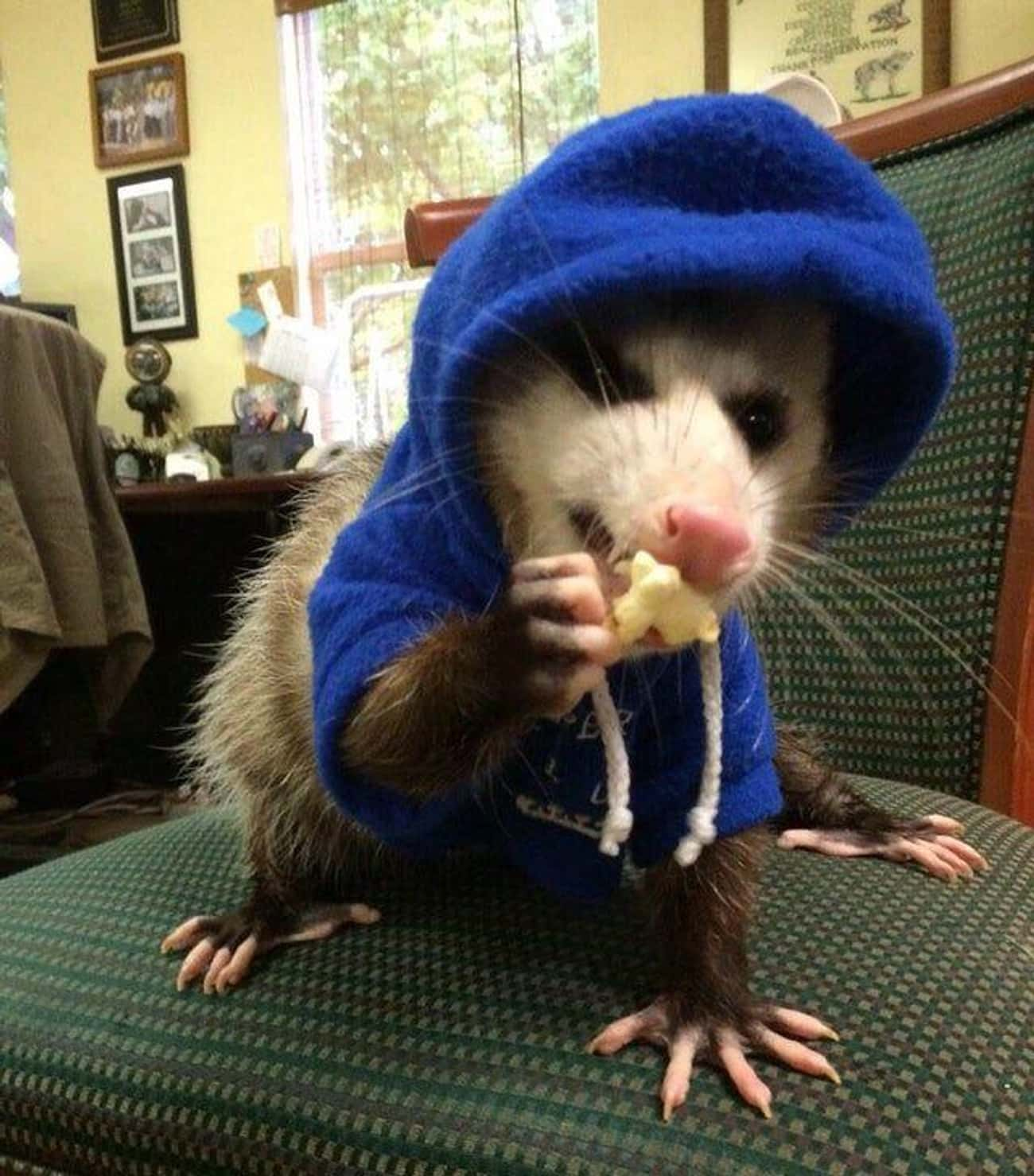 Petunia The Possum Gets Her Ho is listed (or ranked) 2 on the list 18 Times Opossums Nailed The Art Of Being Adorable