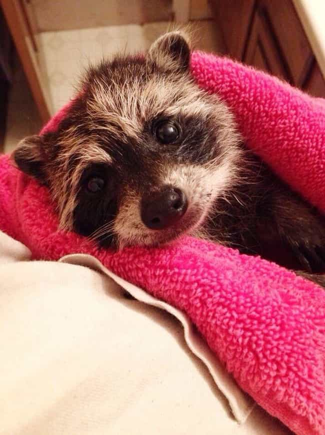 So Fresh And So Clean, C... is listed (or ranked) 4 on the list Photos That Prove Trash Pandas Are The Cutest Creatures In The Animal Kingdom