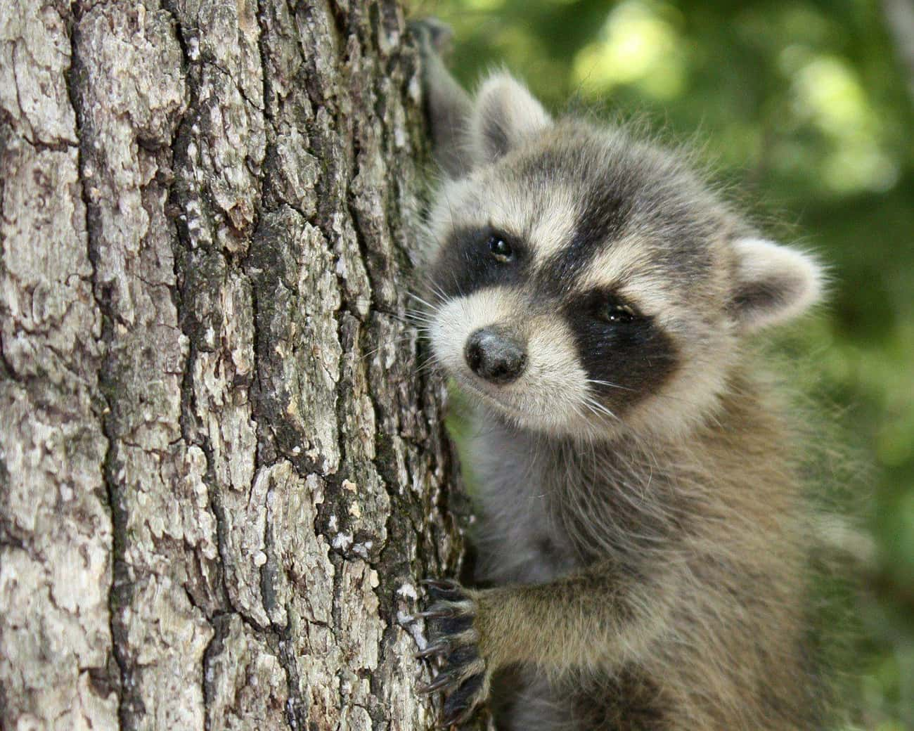 Little Ball Of Fur is listed (or ranked) 3 on the list Photos That Prove Trash Pandas Are The Cutest Creatures In The Animal Kingdom