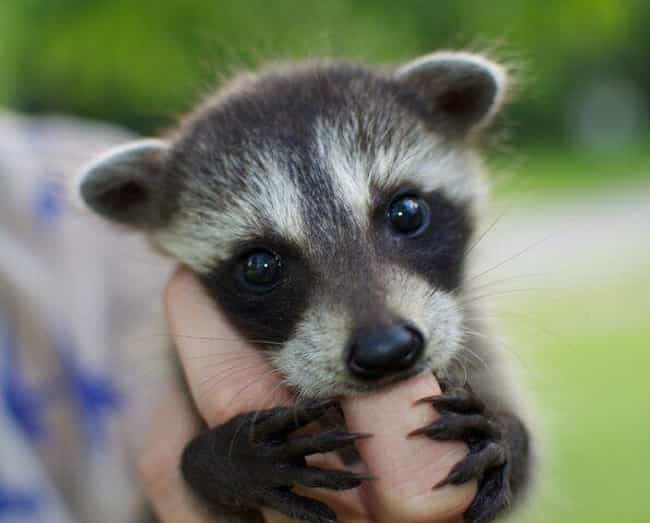 The World's Cutest Pint-Si... is listed (or ranked) 1 on the list Photos That Prove Trash Pandas Are The Cutest Creatures In The Animal Kingdom