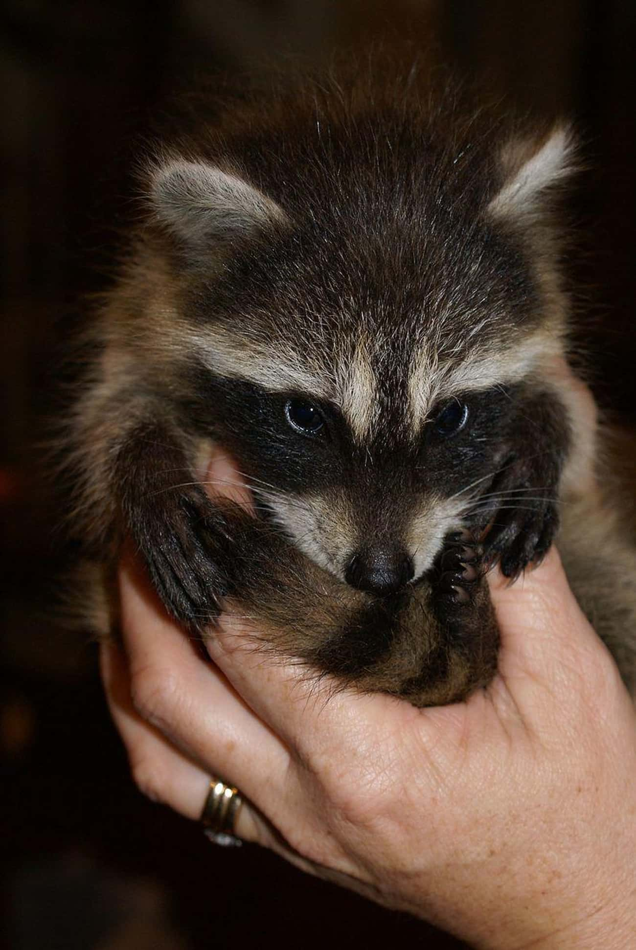 The World's Cutest Baby Raccoo is listed (or ranked) 1 on the list Photos That Prove Trash Pandas Are The Cutest Creatures In The Animal Kingdom