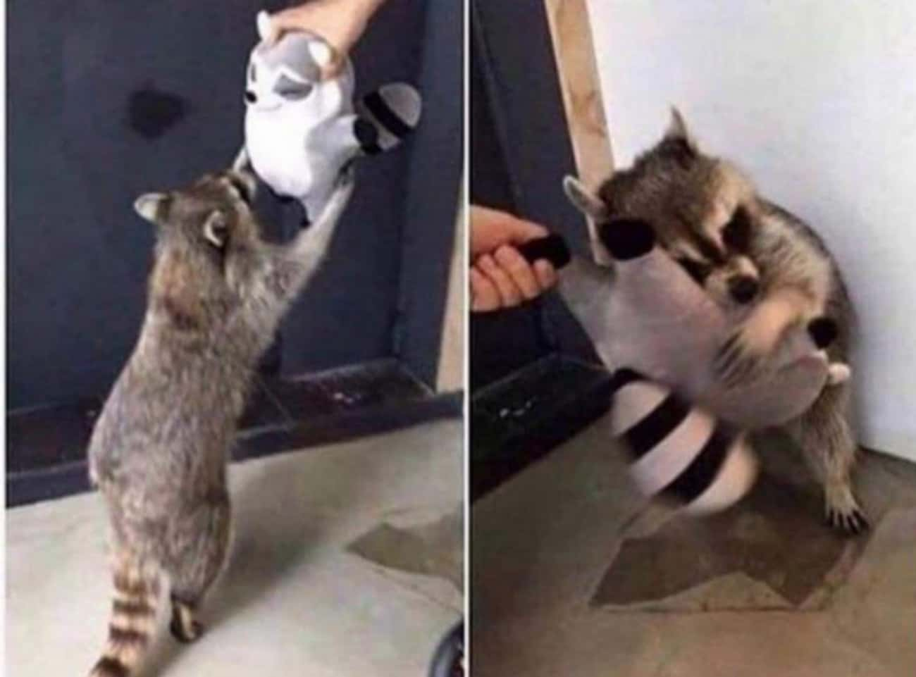 Prepare For Cuteness Overload  is listed (or ranked) 4 on the list Photos That Prove Trash Pandas Are The Cutest Creatures In The Animal Kingdom