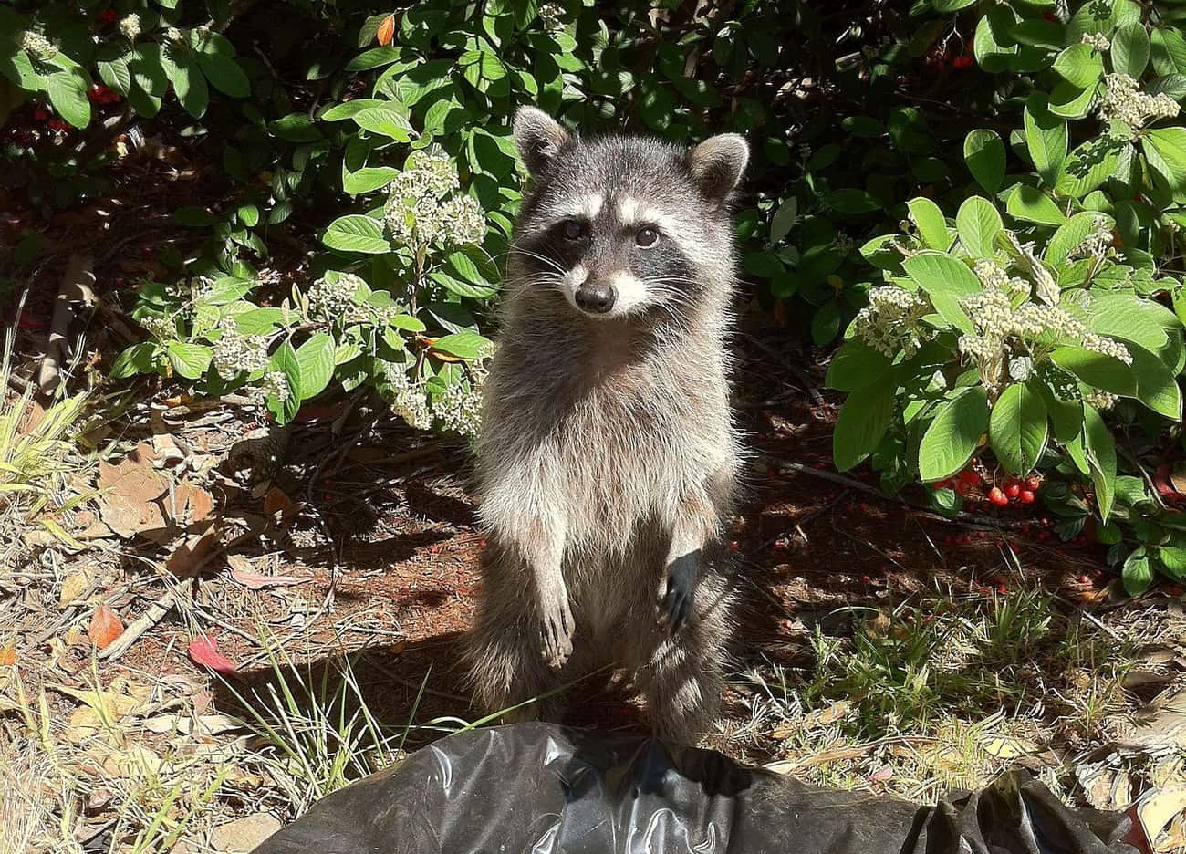 'I Can Explain...' is listed (or ranked) 2 on the list Photos That Prove Trash Pandas Are The Cutest Creatures In The Animal Kingdom