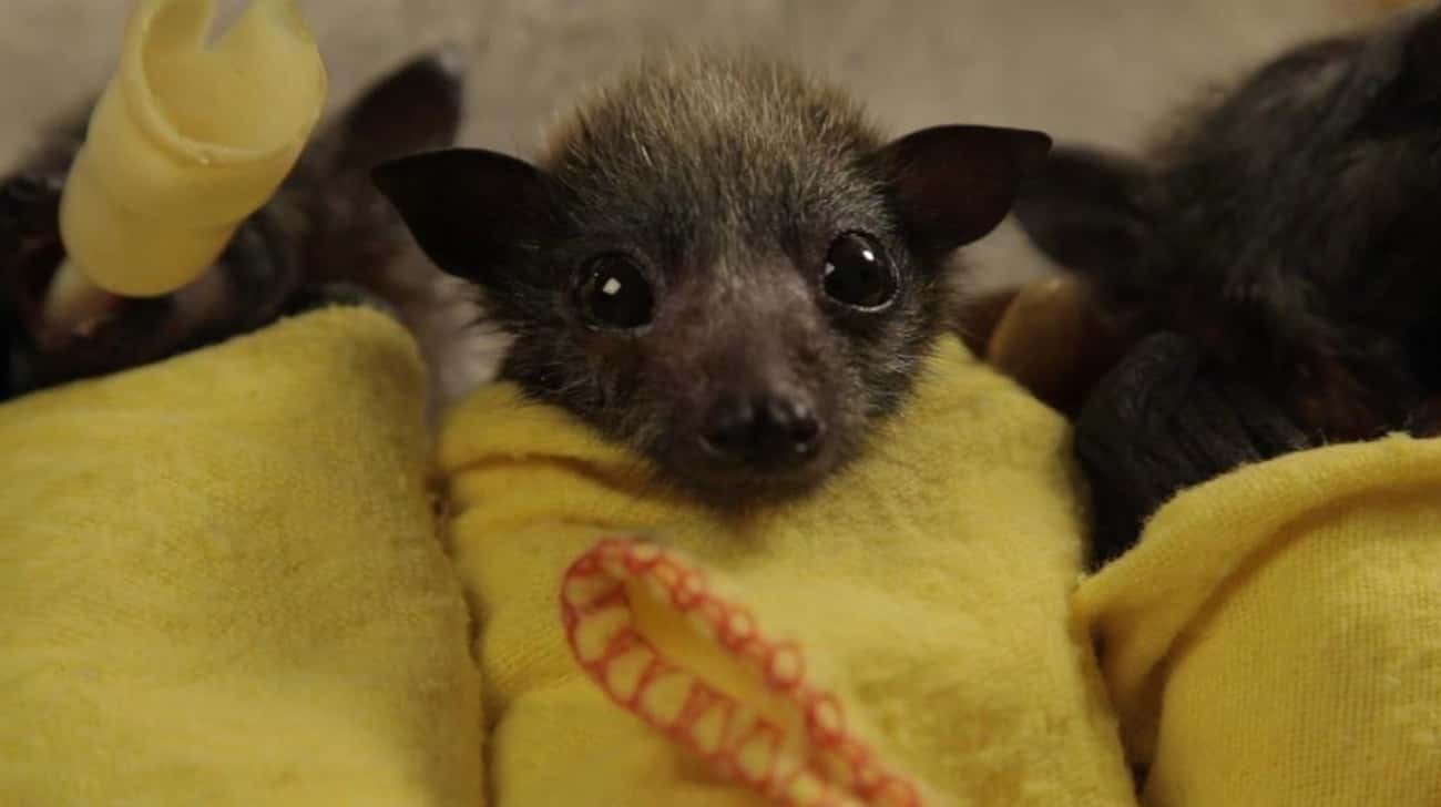 Where's My Bottle? is listed (or ranked) 3 on the list 19 Bats That Prove They're Adorable Instead Of Terrifying