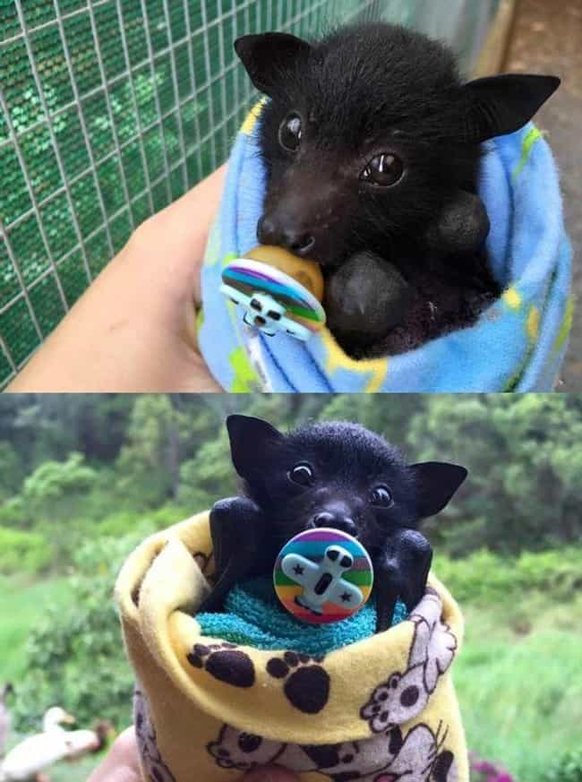 Prepare To Enter Cuteness Over... is listed (or ranked) 2 on the list 24 Bats That Prove They're Adorable Instead Of Terrifying