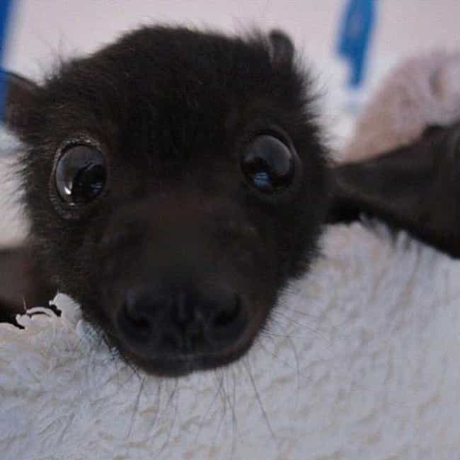 Look Into My Inexcusably Adora... is listed (or ranked) 1 on the list 24 Bats That Prove They're Adorable Instead Of Terrifying