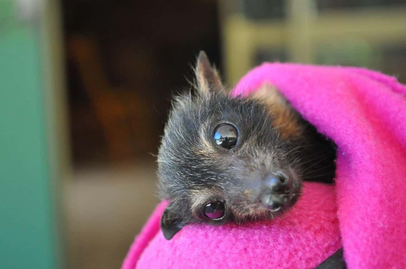 Oh Hi! is listed (or ranked) 4 on the list 19 Bats That Prove They're Adorable Instead Of Terrifying