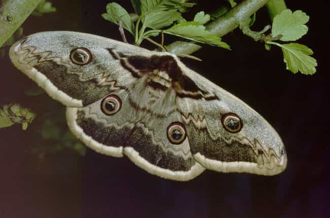 Surprise! It's A Moth! ... is listed (or ranked) 2 on the list Can You Guess Which Animal You're Looking At Up Close?