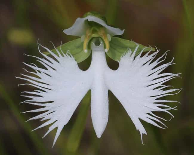 The White Egret Flower Looks L... is listed (or ranked) 4 on the list 17 Plants That Look Just Like Animals