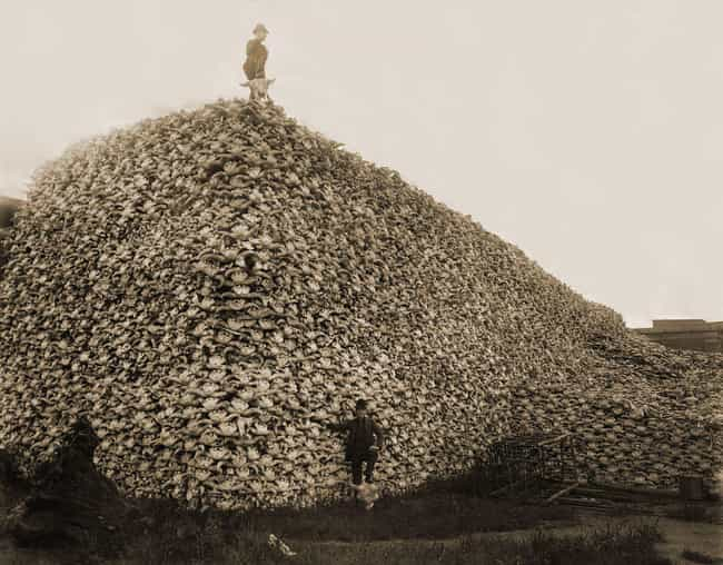 In The 19th Century, Ame... is listed (or ranked) 1 on the list This Photo of Bison Skulls Shows How Close We Came To Making Bison Go Extinct