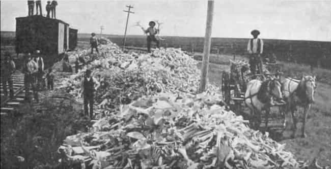 The Bison Are Slowly Com... is listed (or ranked) 3 on the list This Photo of Bison Skulls Shows How Close We Came To Making Bison Go Extinct