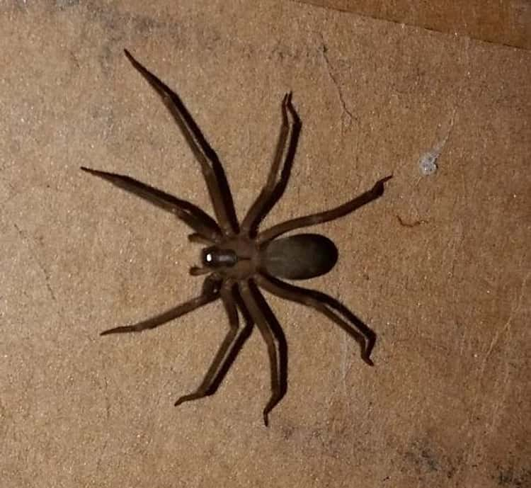 A Brown Recluse Bite Is Sometimes Harmless, But Can Cause Necrotic Lesions