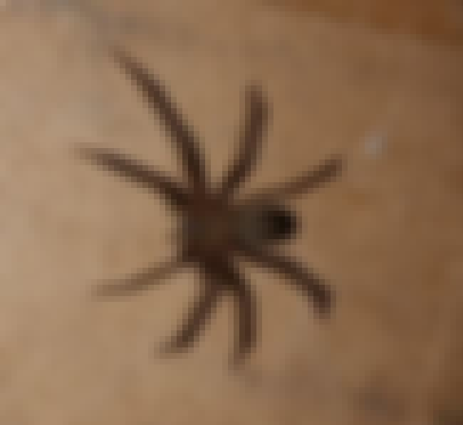 The Brown Recluse Will Melt Yo... is listed (or ranked) 4 on the list 14 Of The Deadliest Animals In Florida