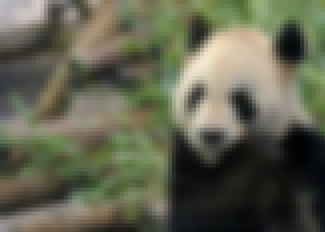 The Center Is Considered Among... is listed (or ranked) 4 on the list This Awful Video Of Research Staff Abusing Panda Cubs Is Going Viral