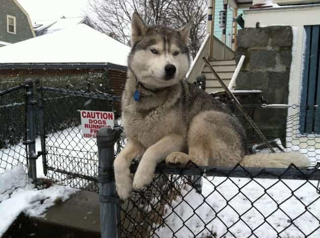 No Fence Can Hold Me is listed (or ranked) 3 on the list 22 Dogs Who Were Clearly Raised By Cats