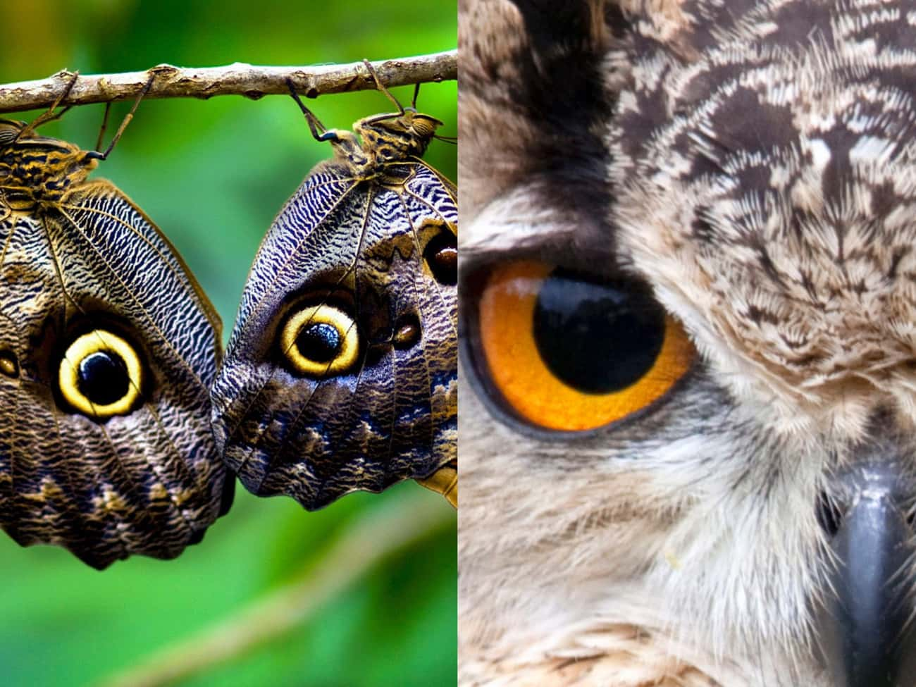 The Eyespots On Some Butterfli is listed (or ranked) 1 on the list Animal Imposters: 15 Creatures That Fake It To Make It