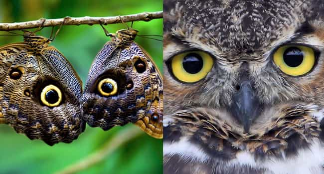 The Eyespots On Some Butterfli... is listed (or ranked) 4 on the list Animal Imposters: 15 Creatures That Fake It To Make It
