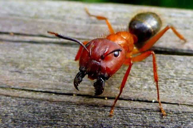Ants Stitched Up Open Wo... is listed (or ranked) 2 on the list 11 Ingenious Ways Animals Have Majorly Helped Humans Throughout History