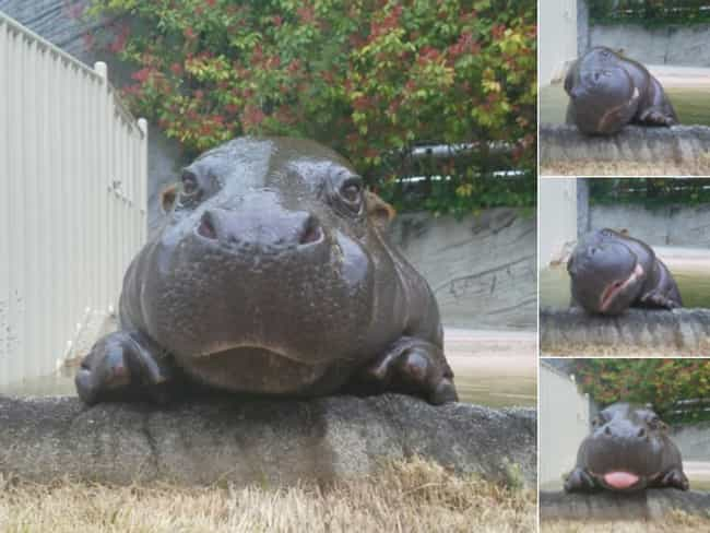 The Many Faces Of This Little ... is listed (or ranked) 4 on the list 21 Times Baby Hippos Redefined Cuteness Overload